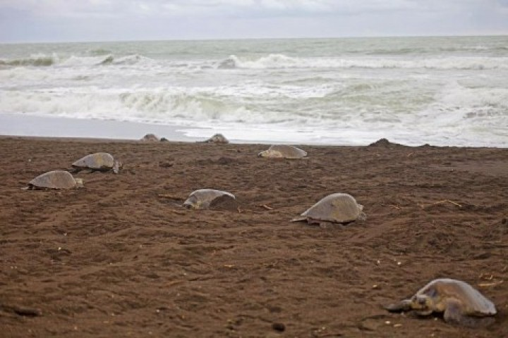 turtles samara costa rica info center olive ridley baby laying 5