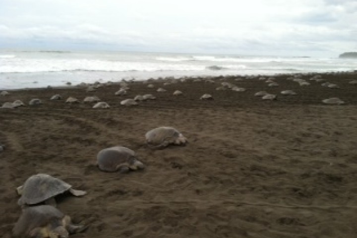 turtles samara costa rica info center olive ridley baby laying 8
